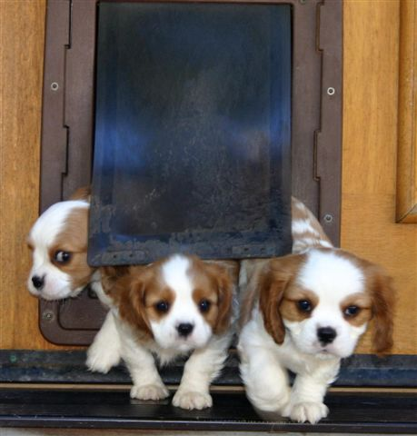 Crate training puppies during the day, cavalier king charles